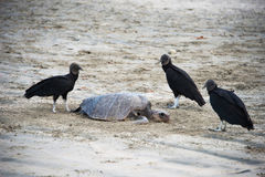 Abutres pretos Foto de Stock