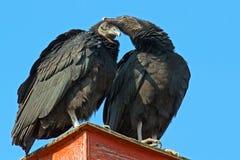 Abutres pretos Fotos de Stock Royalty Free