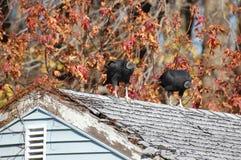 Abutres pretos em um telhado Foto de Stock