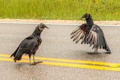 Abutres pretos que jogam na estrada Fotos de Stock