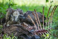 Abutres que comem uma carcaça Imagens de Stock