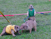 Abwehrhund auf grünem Spielplatzrasen Lizenzfreies Stockfoto