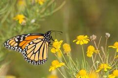 Abweichen-Monarchfalter Stockbilder