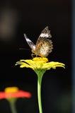 Abweichen-Monarchfalter, der auf einen hellen gelben Zinnia einzieht Stockfotos