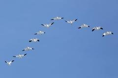 Abweichen-Schnee-Gänse, die in v-Bildung fliegen Lizenzfreies Stockbild