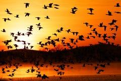 Abweichen-Schnee-Gänse fliegen bei Sonnenaufgang Lizenzfreies Stockfoto