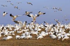 Abweichen-Schnee-Gänse fliegen herein für die Fütterung Stockfotografie