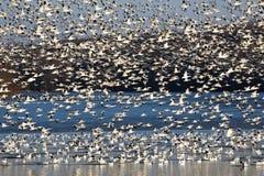 Abweichen-Schnee-Gänse fliegen vor See Lizenzfreies Stockfoto