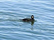 Abweichen-schwarze Ente in Barneget-Bucht Lizenzfreies Stockfoto