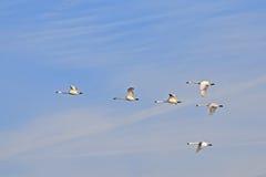 Abweichen-Tundra-Schwäne im Flug Lizenzfreies Stockfoto