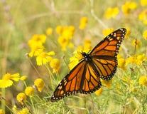 Abweichen-weiblicher Monarchfalter Lizenzfreies Stockbild
