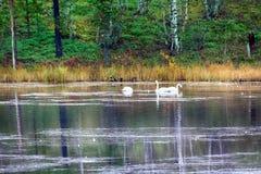 Abweichen Whooping Schwäne stoppten für Rest und die Fütterung auf Fluss Stockbilder