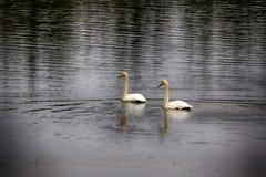Abweichen Whooping Schwäne stoppten für Rest und die Fütterung auf Fluss Lizenzfreies Stockfoto