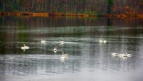 Abweichen Whooping Schwäne stoppten für Rest und die Fütterung auf Fluss Lizenzfreies Stockbild