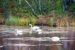 Abweichen Whooping Schwäne stoppten für Rest und die Fütterung auf Fluss Lizenzfreie Stockfotos