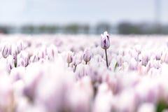 Abweichende Tulpe über anderen Blumen auf einem Gebiet Stockbilder