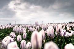 Abweichende Tulpe über anderen Blumen auf einem Gebiet Lizenzfreie Stockfotografie