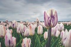 Abweichende Tulpe über anderen Blumen auf einem Gebiet Lizenzfreie Stockfotos