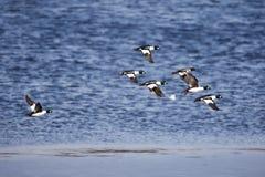 Abweichenmenge des goldenen Auges duckt Fliegen über dem Wasser im Frühjahr Stockfotografie