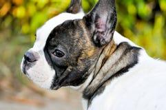 Abwesende gekümmerte französische Bulldogge Lizenzfreies Stockfoto