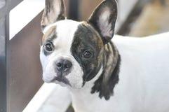 abwesende gekümmerte französische Bulldogge oder französische Bulldogge Lizenzfreie Stockbilder