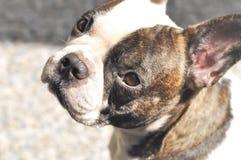 abwesende gekümmerte französische Bulldogge oder französische Bulldogge Stockbilder