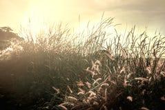 Abwischen des Grasschattenbildes, das im Sonnenuntergang glänzt Stockfotos