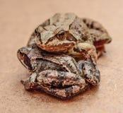 żaby Obraz Stock