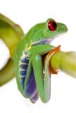 żaby bambusowy obsiadanie Obrazy Stock