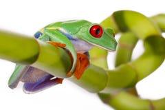 żaby bambusowy obsiadanie Obrazy Royalty Free
