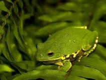 żaby camo drzewo Obrazy Royalty Free