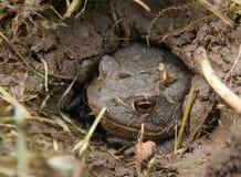 żaby czekanie Zdjęcia Stock