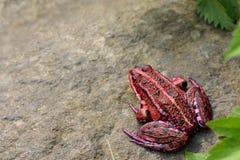 żaby czerwony Zdjęcie Royalty Free