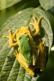 żaby drzewne Obrazy Royalty Free