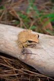 żaby drzewo Zdjęcie Royalty Free