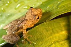 żaby drzewo dziecko Fotografia Royalty Free