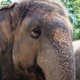 Aby el cierre de la cabeza del elefante para arriba fotos de archivo