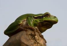 żaby europejski drzewo Fotografia Stock