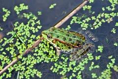 żaby fotografii woda Obraz Stock