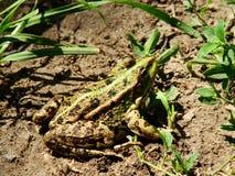 żaby green zdjęcie royalty free