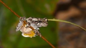 Żaby hangin ` dalej Zdjęcia Royalty Free