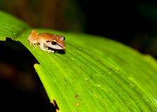 żaby hyla Zdjęcie Royalty Free