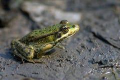 żaby jezioro Zdjęcie Royalty Free