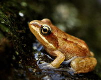 Żaby juvenil Rana arvalis zdjęcia stock