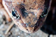 Żaby kierowniczy makro- Zdjęcia Royalty Free