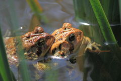 Żaby kotelni sezon Zdjęcia Royalty Free