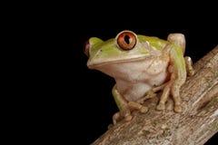 żaby lasowy drzewo Obraz Royalty Free