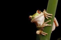 żaby lasowy drzewo Zdjęcie Royalty Free