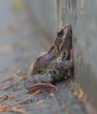Żaby modlitewne Fotografia Royalty Free