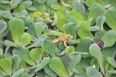 Żaby na liściach Obraz Stock